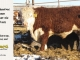 de-horned-hereford-bull-for-sale-1612_8685