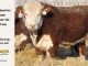 de-horned-hereford-bull-for-sale-1614_8091