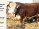 de-horned-hereford-bull-for-sale-1614_8092