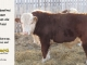 de-horned-hereford-bull-for-sale-1615_8676