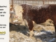 de-horned-hereford-bull-for-sale-1625_8080
