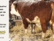 de-horned-hereford-bull-for-sale-1625_8099