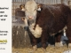 de-horned-hereford-bull-for-sale-1628_8081