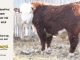 de-horned-hereford-bull-for-sale-1628_8677