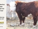 de-horned-hereford-bull-for-sale-1628_8678