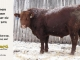 red-angus-bull-for-sale-2076_8204