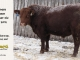 red-angus-bull-for-sale-2076_8205