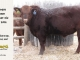 red-angus-bull-for-sale-2096_8196