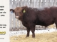 red-angus-bull-for-sale-2096_8206