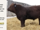 red-angus-bull-for-sale-2096_8219