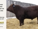 red-angus-bull-for-sale-2096_8220