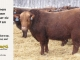 red-angus-bull-for-sale-2191_8265