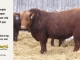 red-angus-bull-for-sale-2191_8266