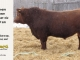 red-angus-bull-for-sale-2191_8267