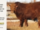 red-angus-bull-for-sale-2191_8635