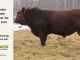red-angus-bull-for-sale-2209_8269