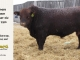red-angus-bull-for-sale-2293_8264