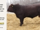 red-angus-bull-for-sale-2293_8286