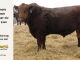 red-angus-bull-for-sale-2340_8287