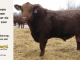 red-angus-bull-for-sale-2340_8288