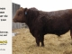 red-angus-bull-for-sale-2340_8289