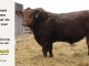 red-angus-bull-for-sale-2340_8290