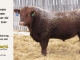 red-angus-bull-for-sale-2344_8190