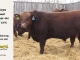 red-angus-bull-for-sale-2376_8276