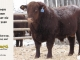 red-angus-bull-for-sale-2380_8231