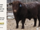 red-angus-bull-for-sale-2380_8232