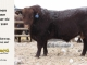 red-angus-bull-for-sale-2380_8237