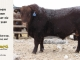 red-angus-bull-for-sale-2380_8238