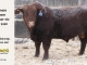 red-angus-bull-for-sale-2380_8259