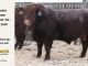 red-angus-bull-for-sale-2380_8260