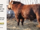 red-angus-bull-for-sale-2380_8630