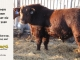 red-angus-bull-for-sale-2380_8631