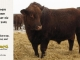 red-angus-bull-for-sale-2402_8294
