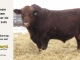 red-angus-bull-for-sale-2402_8295
