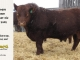 red-angus-bull-for-sale-2402_8297
