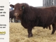 red-angus-bull-for-sale-2402_8298