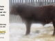 red-angus-bull-for-sale-2402_8323