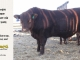 red-angus-bull-for-sale-2402_8661