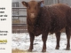 red-angus-bull-for-sale-2407_8313