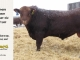 red-angus-bull-for-sale-2419_8291