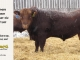 red-angus-bull-for-sale-2419_8292