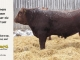 red-angus-bull-for-sale-2419_8293