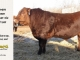 red-angus-bull-for-sale-2419_8655