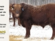 red-angus-bull-for-sale-2455_8302