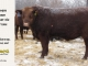 red-angus-bull-for-sale-2461_8262