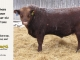 red-angus-bull-for-sale-2461_8268